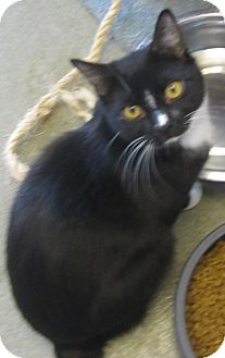 Domestic Shorthair Cat for adoption in Westminster, California - Speckle
