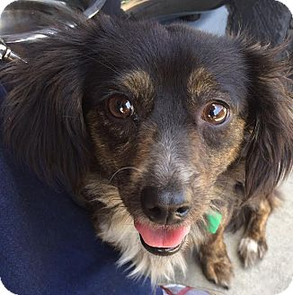 Dachshund/Spaniel (Unknown Type) Mix Dog for adoption in Encino, California - Sarah