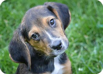 Dachshund/Beagle Mix Puppy for adoption in Kalamazoo, Michigan - Trevor - Katrina