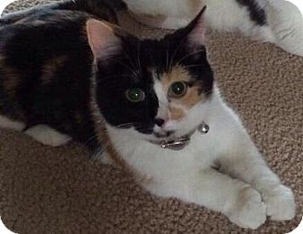 Calico Kitten for adoption in Saint Clair Shores, Michigan - Piper