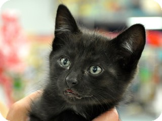 Domestic Shorthair Kitten for adoption in Great Falls, Montana - Little Guy