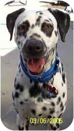 Dalmatian Dog for adoption in Pacific Grove, California - Susie
