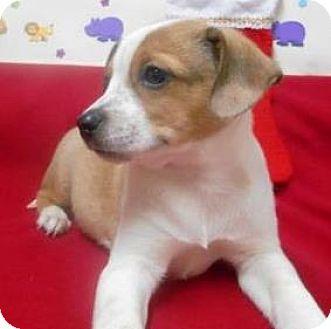 Italian Greyhound/Cattle Dog Mix Puppy for adoption in Bartonsville, Pennsylvania - Keegan