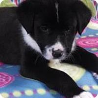 Adopt A Pet :: Raj - Bedminster, NJ