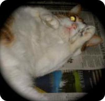 Domestic Shorthair Cat for adoption in Newtown, Connecticut - Sasha