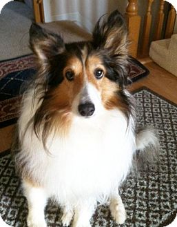 Sheltie, Shetland Sheepdog Dog for adoption in Abingdon, Maryland - Star