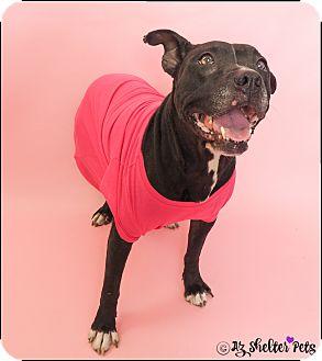 Labrador Retriever/American Pit Bull Terrier Mix Dog for adoption in Phoenix, Arizona - Mimi