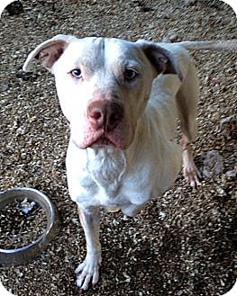 Pit Bull Terrier Mix Dog for adoption in Wanaque, New Jersey - spirit