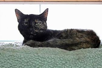 Domestic Mediumhair Cat for adoption in Jefferson, Texas - Shelly