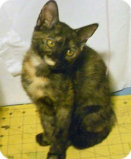 Domestic Shorthair Cat for adoption in Studio City, California - Bo