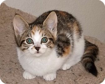 Calico Kitten for adoption in Salem, Oregon - Dianna
