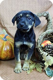 Shepherd (Unknown Type) Mix Puppy for adoption in Westminster, Colorado - CARMEN