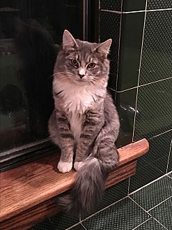 Maine Coon Kitten for adoption in Bedford Hills, New York - Hattori