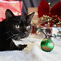 Domestic Shorthair Cat for adoption in Palmdale, California - Dancer