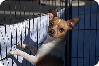 Chihuahua Mix Dog for adoption in Reno, Nevada - Charles Boyer