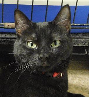 Domestic Shorthair Cat for adoption in Winston-Salem, North Carolina - Catniss