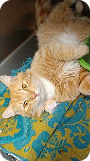 Domestic Mediumhair Cat for adoption in Umatilla, Florida - Curd
