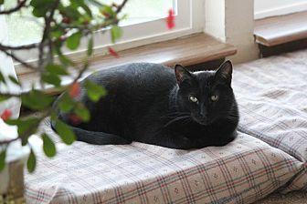 Bombay Cat for adoption in Rawlins, Wyoming - Duncan