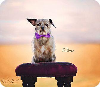 Brussels Griffon/Yorkie, Yorkshire Terrier Mix Dog for adoption in Lubbock, Texas - Warren