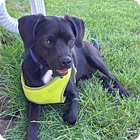 Adopt A Pet :: Bronco - Cedar Rapids, IA