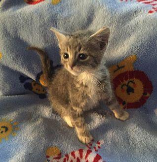 Domestic Shorthair Kitten for adoption in Hampton, Virginia - Silver boy