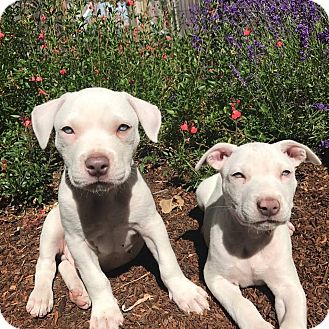 Pit Bull Terrier Mix Puppy for adoption in Lompoc, California - Ernie Biscuit