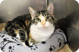 Domestic Shorthair Cat for adoption in Muskegon, Michigan - lulu