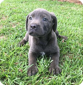 Labrador Retriever Mix Puppy for adoption in Southbury, Connecticut - Lance