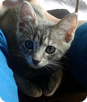 Domestic Shorthair Kitten for adoption in Arlington, Virginia - Baxter