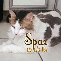 Domestic Longhair Cat for adoption in Las Vegas, Nevada - Spaz (& Taz- bonded pair