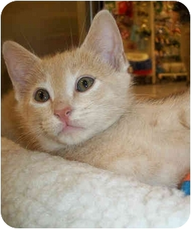 Domestic Shorthair Kitten for adoption in Cedar Creek, Texas - Beaux