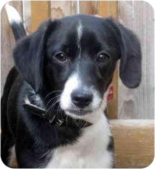 Beagle/Border Collie Mix Puppy for adoption in Chicago, Illinois - Lilly(ADOPTED!)