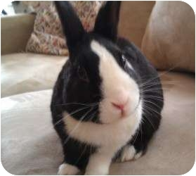 Dutch Mix for adoption in Los Angeles, California - Noodles