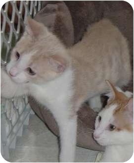 Domestic Shorthair Cat for adoption in DeKalb, Illinois - Trey