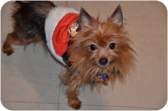 Yorkie, Yorkshire Terrier Mix Dog for adoption in Tallahassee, Florida - Stanley