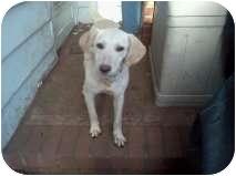 Labrador Retriever Mix Puppy for adoption in East Rockaway, New York - Destiny