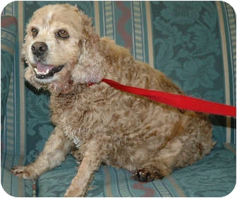 Cocker Spaniel Mix Dog for adoption in Ripley, Tennessee - Lady (365)