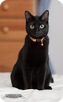 Domestic Shorthair Cat for adoption in St. Louis, Missouri - Liesl
