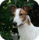 Greyhound Dog for adoption in Ware, Massachusetts - Jackson