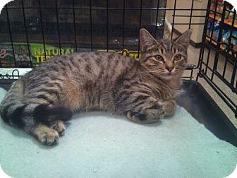 Bengal Cat for adoption in Modesto, California - Daisy
