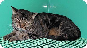 Bengal Cat for adoption in Laguna Woods, California - Lovey