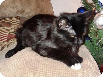 Domestic Shorthair Cat for adoption in Las Vegas, Nevada - Shade