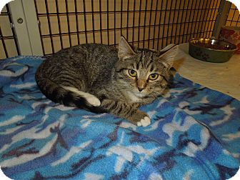 Domestic Shorthair Kitten for adoption in Medina, Ohio - Renee