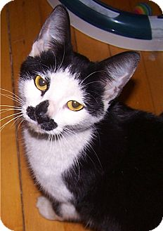 Domestic Shorthair Kitten for adoption in Chicago, Illinois - Ms Moustachio