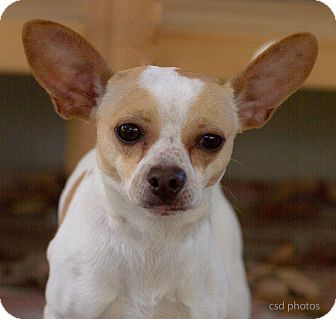 Chihuahua Mix Dog for adoption in Baton Rouge, Louisiana - Mojo