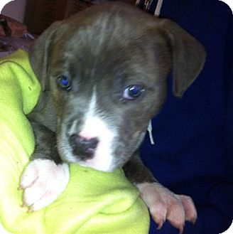 American Pit Bull Terrier Mix Puppy for adoption in Nuevo, California - Charley