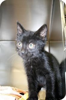 Domestic Shorthair Kitten for adoption in Jackson, New Jersey - Fudge