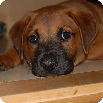 Labrador Retriever/Shepherd (Unknown Type) Mix Puppy for adoption in Waterbury, Connecticut - ARNIE