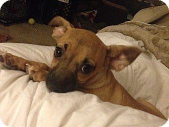 Chihuahua Mix Dog for adoption in San Diego, California - Gina