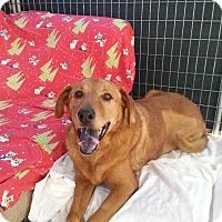 Adopt A Pet :: Brownie - Acton, CA